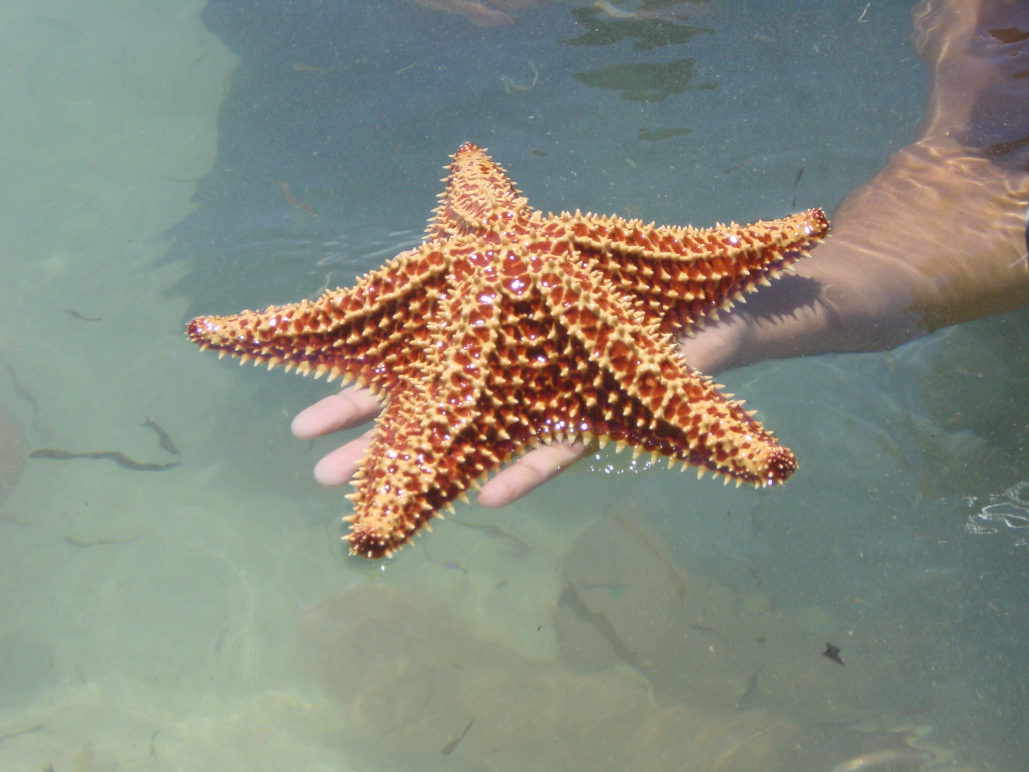 Starfish of the Bahamas