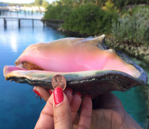 The Bahamas Conch