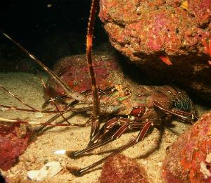 The Bahamas Lobster