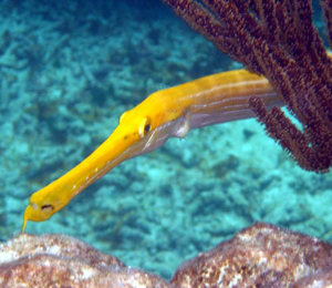 The Trumpetfish