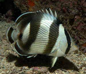 Banded Butterflyfish and Four-Eyed Butterflyfish